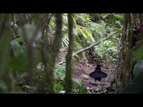 BBC Planet Earth - Birds of Paradise HD
