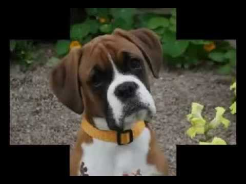 What Does Whooping Cough Sound Like In Dogs