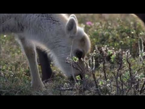 Wolves hunting Caribou - Planet Earth - BBC wildlife