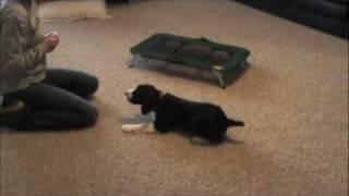 English Springer Spaniel Puppy Obedience Work