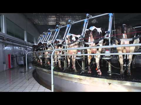 Waikato Milking Systems Milking Platforms For Mengniu ,China
