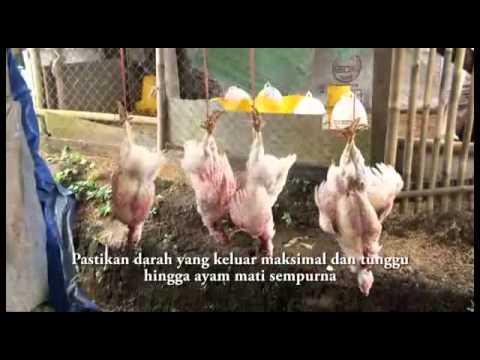 Peternakan Ayam Herbal-Organik - RPH sesuai syariat Islam
