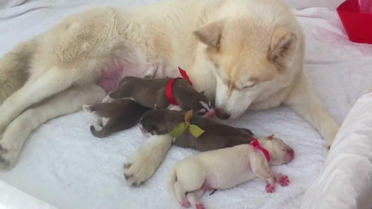 Newborn Siberian Husky Day 1 Good Girl Sasha Youtube