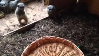 Meerkats v Basket
