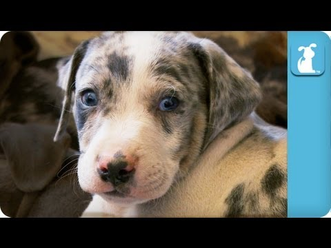 Louisiana Leopard Catahoula Dog - Puppy Love