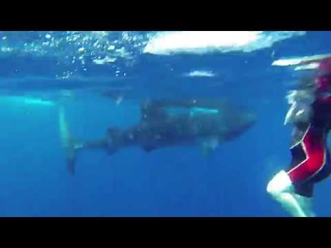 Swimming with whale shark, July 2015