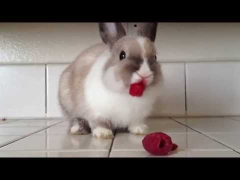 Bunny Eating Raspberries!