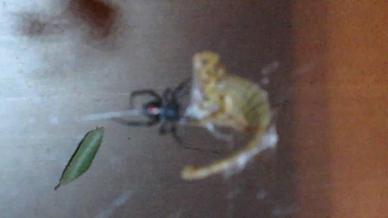 Camel spider vs black widow - photo#25