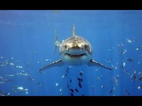 Homem pula na água e dá de cara com tubarão branco(Sidney/Australia 2014)