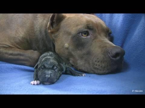Mia's 1st Pit Bull Puppy (in HD)