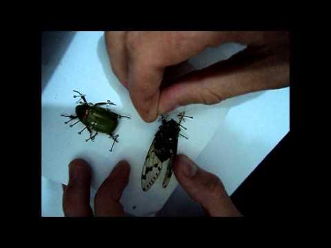 Coleção de insetos: Montagem de insetos