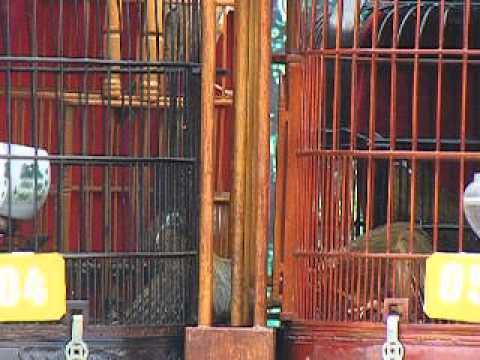 chim mi chien tp tuyen quang 5-1-2014 (Tết giáp Ngọ) p2