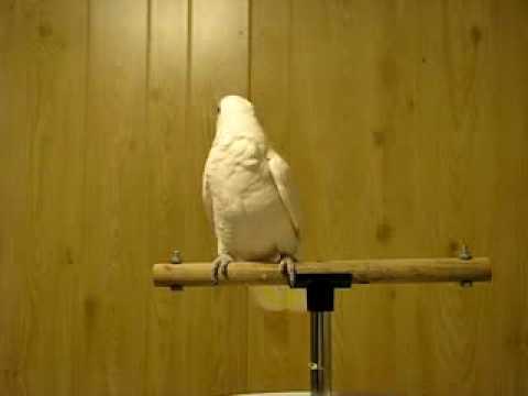 Chim Két lắc theo nhạc