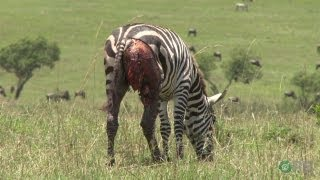 Horrifying Planet: Zebras - Nature's Ultimate Prey