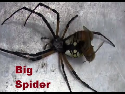 Honey bees attacked a big garden spider.