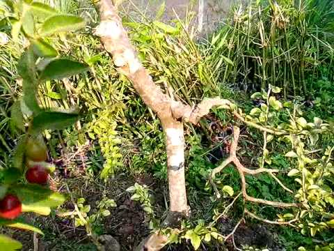 cây phôi kim quýt bonsai vườn Cây Cảnh Me Kong