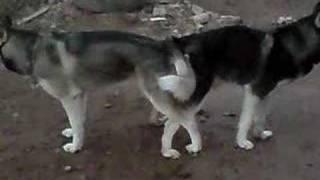 Husky Apareandose