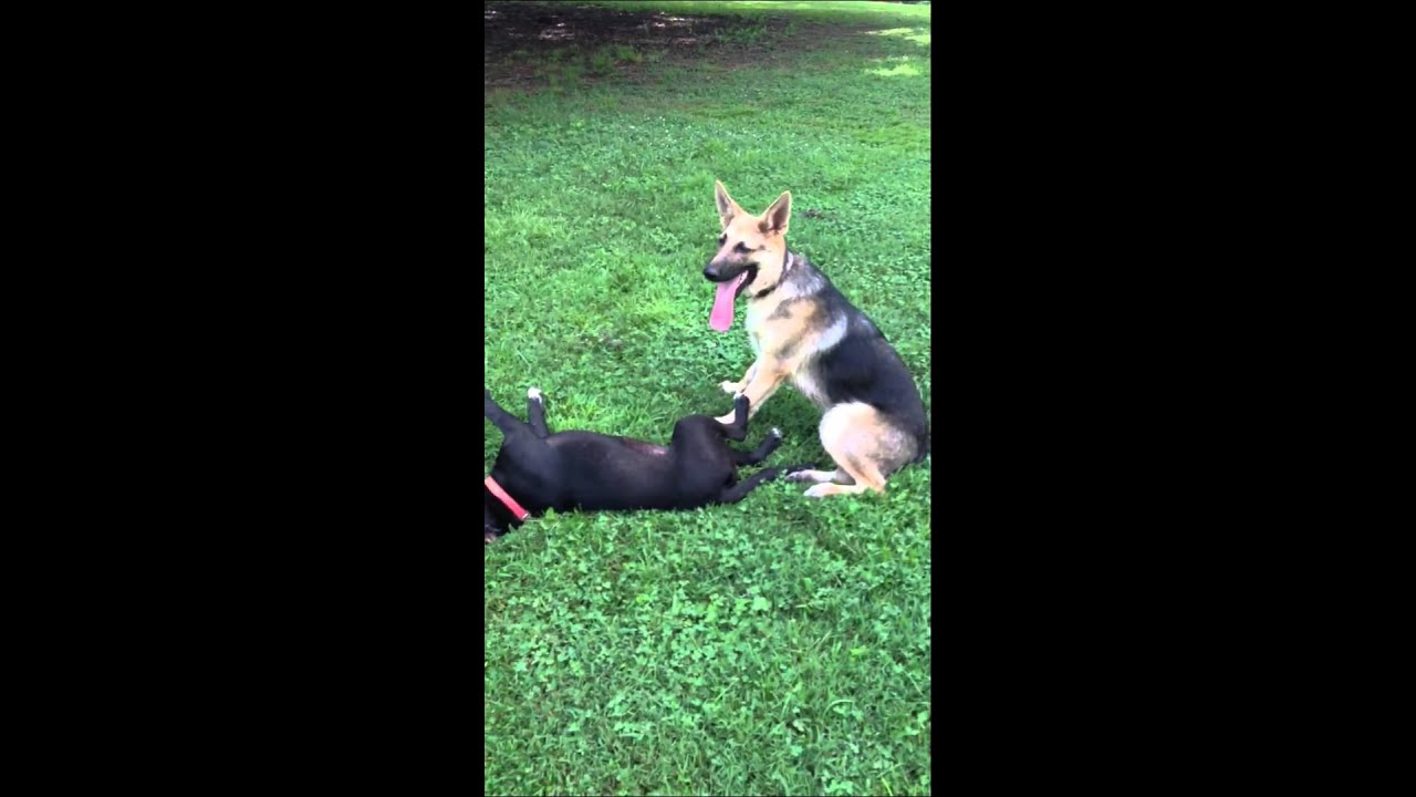 Pit Bulls Vs German Shepherds | Dog Breeds Picture