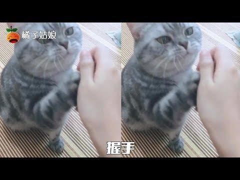 这小猫简直是要逆天了!听得懂人话,还会照做,就差张口说话了