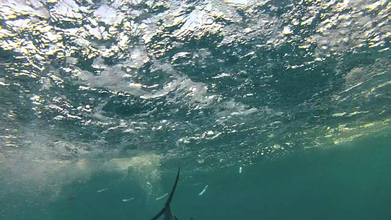 'Mimi' White Marlin Fishing with TrollPro and GoPro HD ...