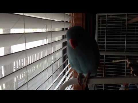 Dixie- indian ringneck, she is so sweet:)