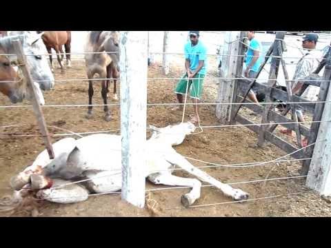 sofrimento de um cavalo