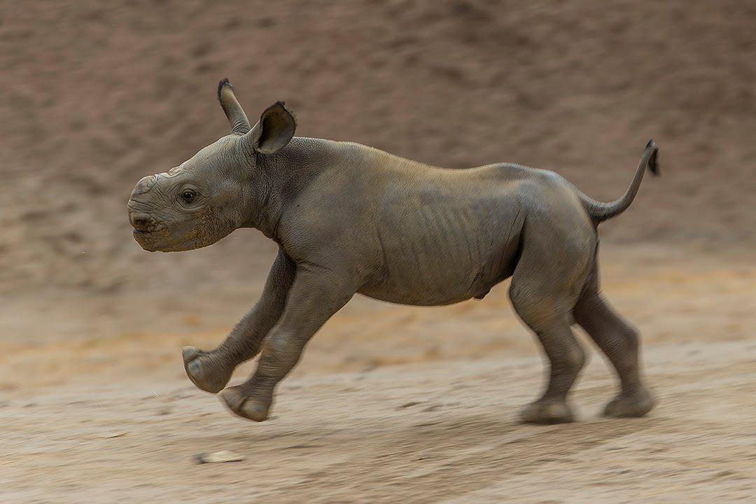 Critically Endangered Black Rhino Calf Hits The Ground