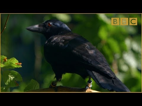 An Impressively Intelligent Crow