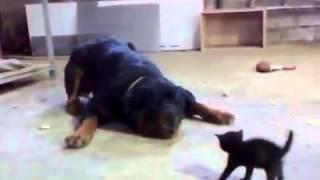 Mutiges Kätzchen gegen Rottweiler