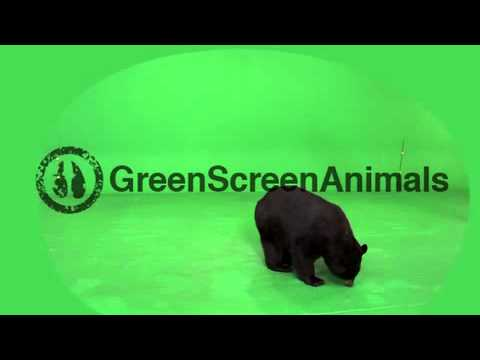 Black Bear Video Clip 20