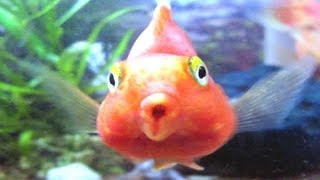 [Blood Parrot Fish Tank (Cichlid)]