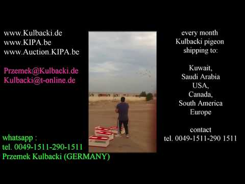 PIGEON TRAINING IN KUWAIT EVERY MONTH SHIPPING OF KULBACKI PIGEONS WORLDWIDE!
