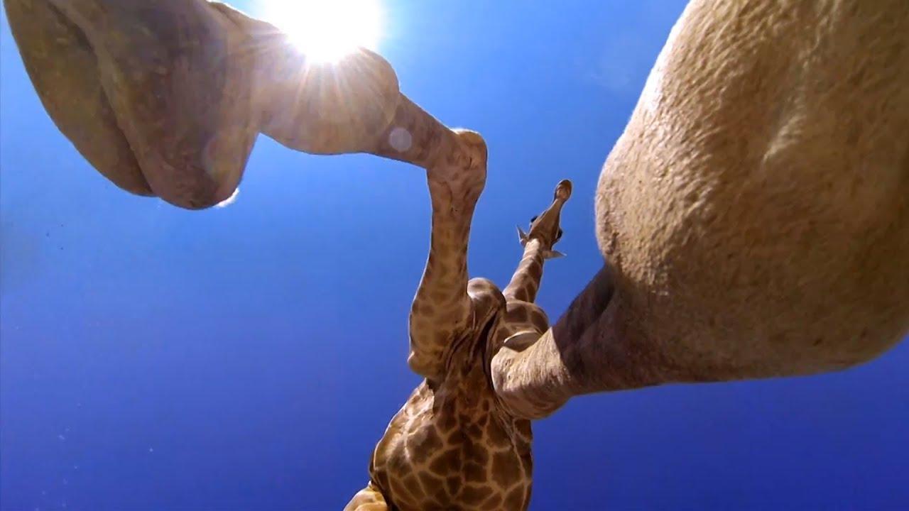 Une girafe met un coup de pied à une GoPro