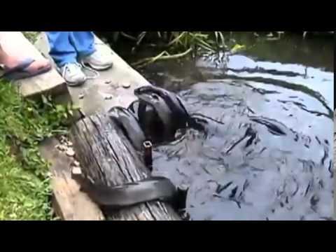 Cá Trình quá ngon