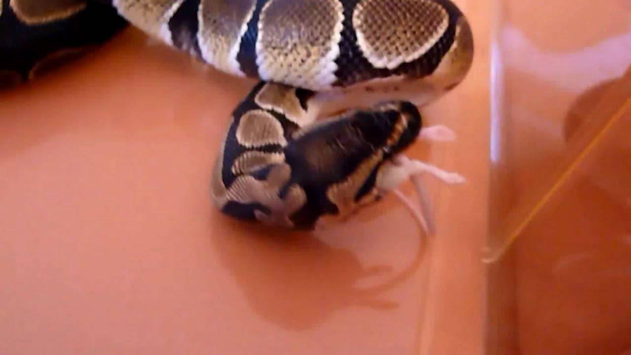 k nigspythons bei der f tterung schlangen beim jagen und fressen maus gegen schlange hd. Black Bedroom Furniture Sets. Home Design Ideas