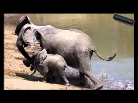 Cocodrilo vs elefante lucha por su vida