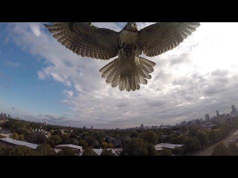 صقر يفترس طائرة من دون طيار