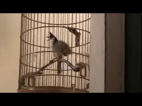 chào mào hot đấu chim trời
