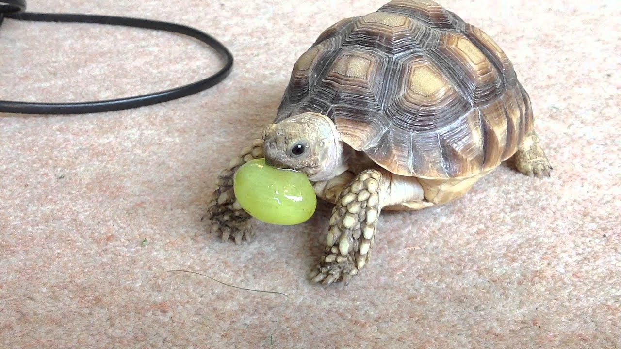 Food For Baby Turtles : Sulcata tortoise eating a grape - YouTube