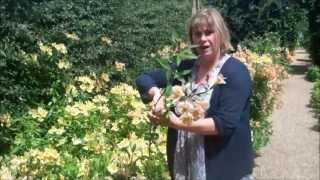 How To Grow And Harvest Alstroemeria