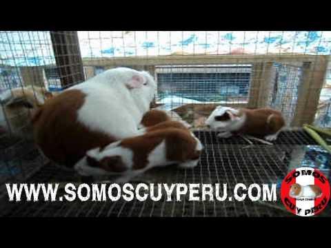 CUYES DE RAZA MEJORADA PERU,ANDINA Y LINEA INTI : PARTOS DE 4, 5 Y 6 CRIAS (VIDEO)