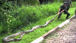 Worlds Biggest Snake Discovered In Brazil Forrest Real Or