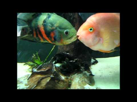 Freshwater parrot fish types for Parrot fish freshwater