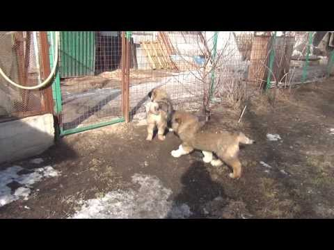Caucasian Shepherd puppies for sale 3.5 months girls.