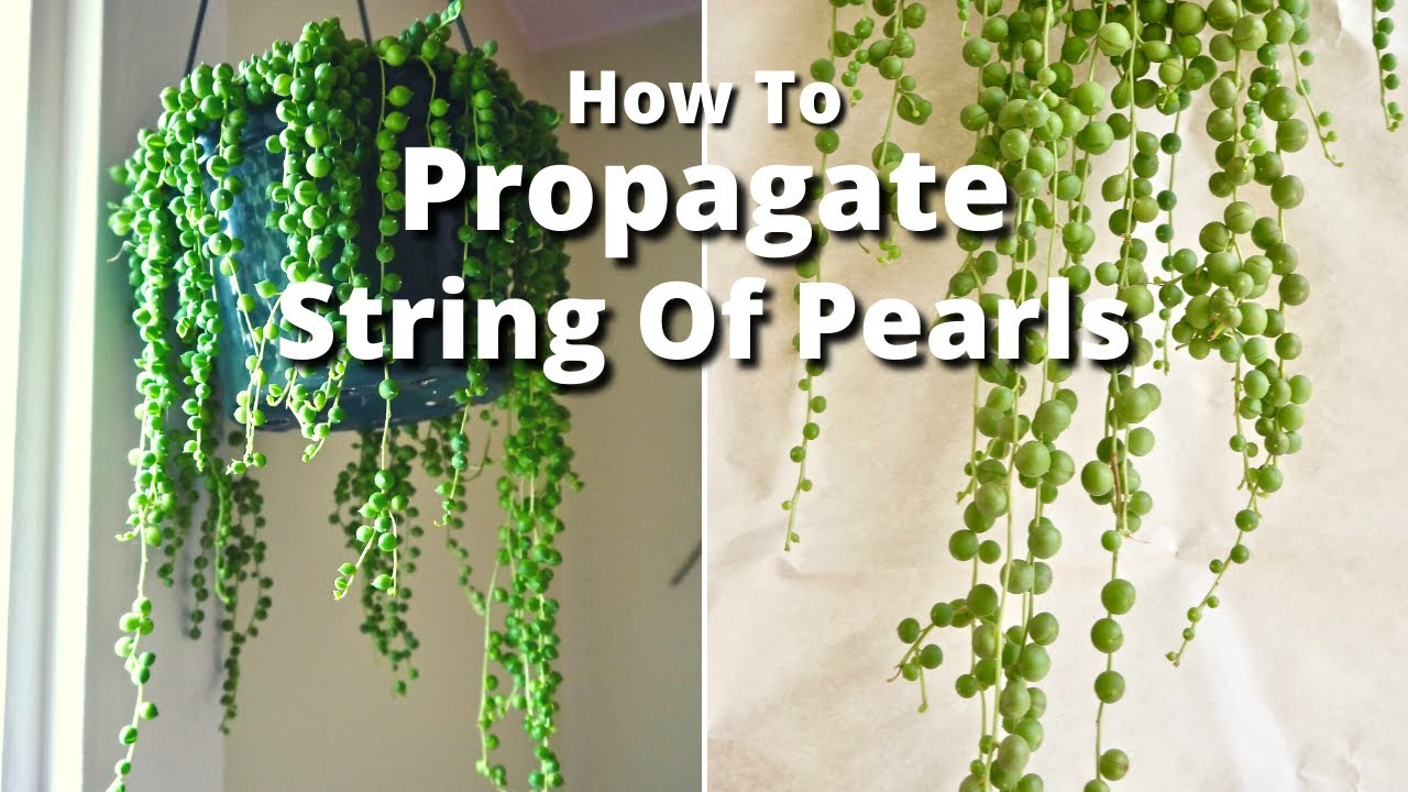 the simple way to propagate a string of pearls plant youtube. Black Bedroom Furniture Sets. Home Design Ideas
