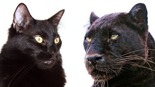 10 Traits Big Cats Share with Domestic Cats