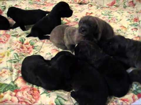 Cane Corso Puppies For Sale