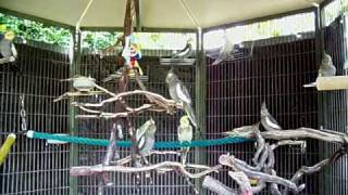 Cockatiel Aviary