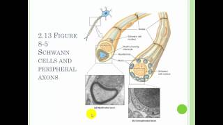 Chapter 8 The Nervous system Part 1