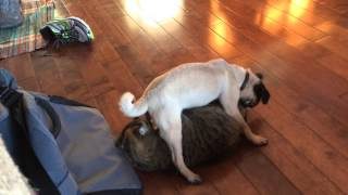 Round 2 : Pug taking over cat while cat doesnt move
